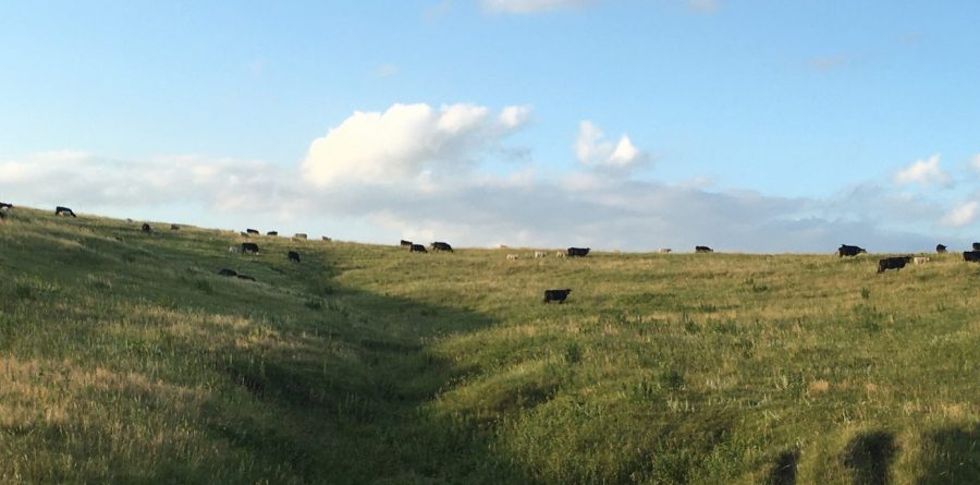 grassland with cows